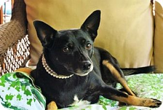 Rat Terrier/Manchester Terrier Mix Dog for adoption in Murphy, North Carolina - Shelly