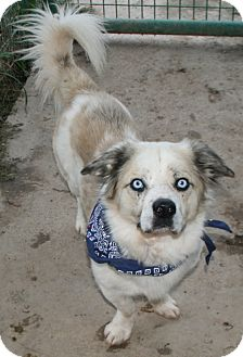 Cardigan Welsh Corgi/Catahoula Leopard Dog Mix Dog for adoption in Pilot Point, Texas - Calvin