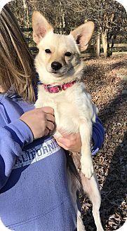 Pomeranian/Chihuahua Mix Dog for adoption in Waxhaw, North Carolina - Sassy
