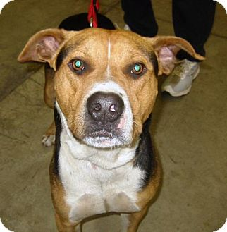 Hound (Unknown Type)/Pit Bull Terrier Mix Dog for adoption in Melrose, Florida - Indy