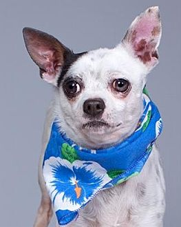 Chihuahua/Terrier (Unknown Type, Medium) Mix Dog for adoption in Pt. Richmond, California - LITTLE JACK