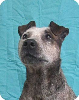 Cattle Dog/Australian Cattle Dog Mix Dog for adoption in LaGrange, Kentucky - Patsy