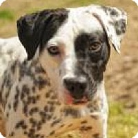 Dalmatian Mix Dog for adoption in Columbus, Georgia - Perdita 8207