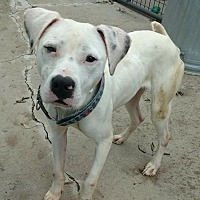Adopt A Pet :: Heartlee-adoption pending - Hanna City, IL