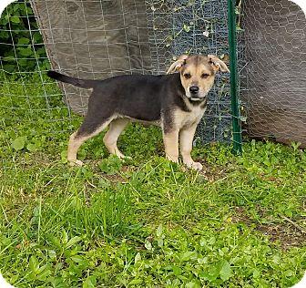 Labrador Retriever Mix Puppy for adoption in New Oxford, Pennsylvania - Marshmallow