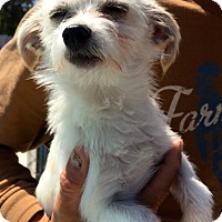 Adopt A Pet :: Joey Lee, puppy beat in head. - Corona, CA