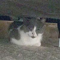 Adopt A Pet :: Viveka - Mississauga, Ontario, ON