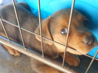 Labrador Retriever/Rhodesian Ridgeback Mix Dog for adoption in Opelousas, Louisiana - Tweety