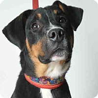 Adopt A Pet :: Sigfried - Tracy, CA