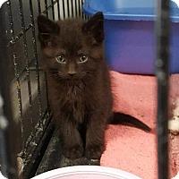 Domestic Shorthair Kitten for adoption in Lagrange, Indiana - Zeke