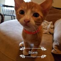 Adopt A Pet :: Storm - ROWLETT, TX