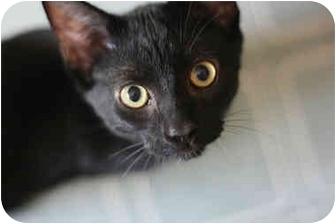 Domestic Shorthair Kitten for adoption in Toronto, Ontario - Johnny