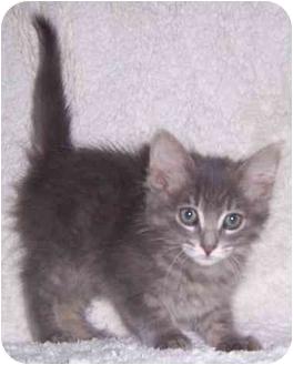Domestic Longhair Kitten for adoption in Oklahoma City, Oklahoma - Cory