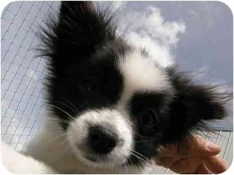 Pomeranian/Maltese Mix Puppy for adoption in Meridian, Idaho - Gogo