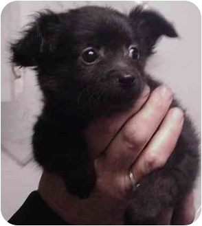 Pomeranian Mix Puppy for adoption in Manassas, Virginia - Yeung-ling