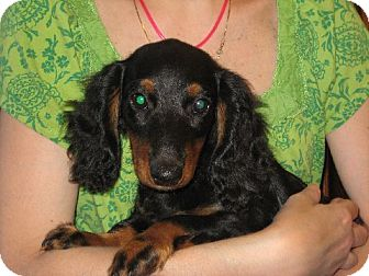 Dachshund Puppy for adoption in Greenville, Rhode Island - Conrad