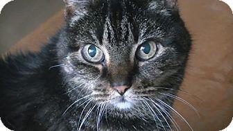 Domestic Shorthair Cat for adoption in Laguna Woods, California - Chelsea