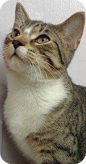 Domestic Shorthair Cat for adoption in Charles City, Iowa - Crash