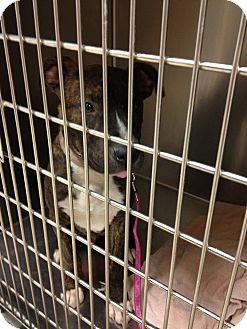 Pit Bull Terrier Puppy for adoption in Ogden, Utah - Capone