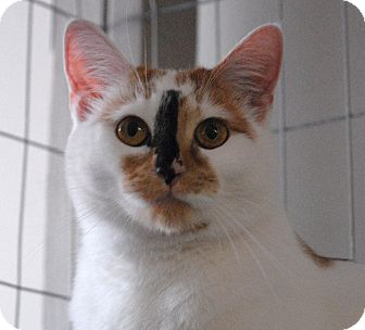 Calico Cat for adoption in Winchendon, Massachusetts - Patches