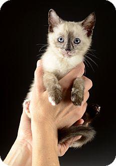 Siamese Kitten for adoption in Cincinnati, Ohio - Smores