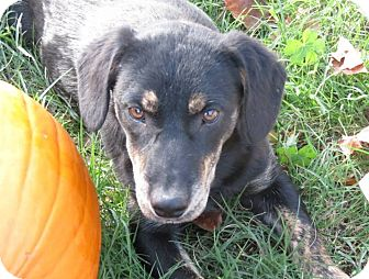 Labrador Retriever Mix Dog for adoption in Conway, New Hampshire - Merlin