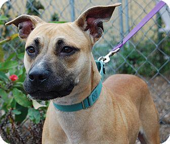Mastiff Mix Dog for adoption in Bradenton, Florida - Shamous