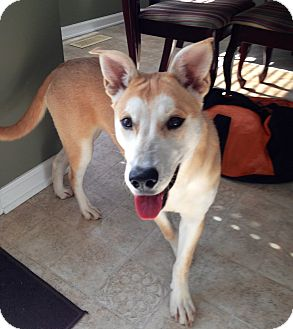 Canaan Dog/Husky Mix Dog for adoption in Chattanooga, Tennessee - Dakota