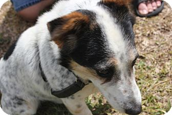 Jack Russell Terrier Dog for adoption in Crestview, Florida - Ranger