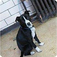 Adopt A Pet :: Baron - Chicago, IL