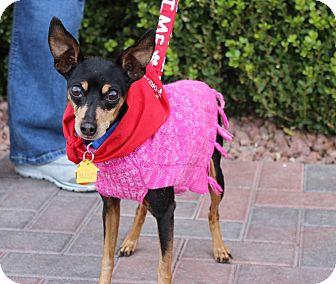 Miniature Pinscher Mix Dog for adoption in Las Vegas, Nevada - KACY