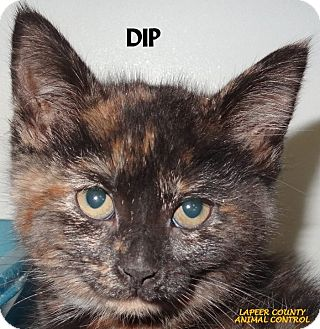 Domestic Mediumhair Kitten for adoption in Lapeer, Michigan - DIP--CAME IN WITH CHIP!
