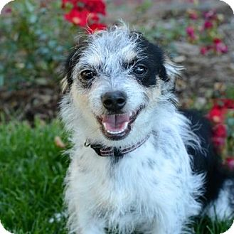 Terrier (Unknown Type, Small) Mix Dog for adoption in Denver, Colorado - Silas