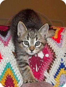 Domestic Shorthair Kitten for adoption in Walworth, New York - Augustine