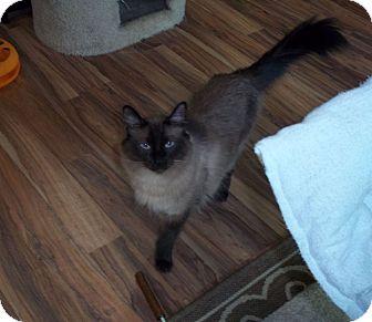 Balinese Cat for adoption in Glendale, Arizona - Tonki