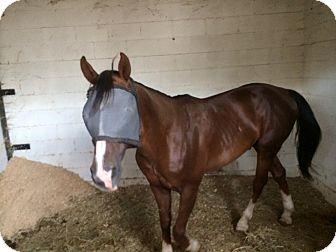 Quarterhorse Mix for adoption in Sac, California - Lupe