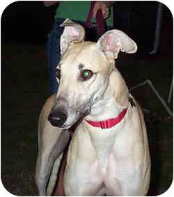 Greyhound Dog for adoption in Lexington, South Carolina - Marcie