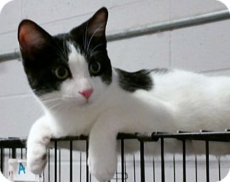 Domestic Shorthair Cat for adoption in Florence, Indiana - Cosmo