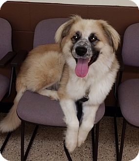 Great Pyrenees Mix Dog for adoption in Minneapolis, Minnesota - Petey