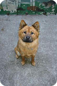 Chow Chow Mix Dog for adoption in Olympia, Washington - 39128