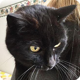 Domestic Shorthair Cat for adoption in Port Angeles, Washington - Tabitha