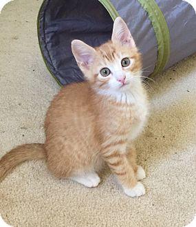 Domestic Shorthair Kitten for adoption in Smyrna, Georgia - Beans