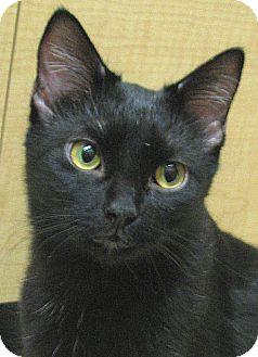 Domestic Shorthair Cat for adoption in Tulsa, Oklahoma - Margarita