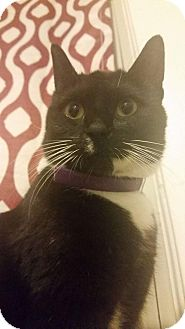Domestic Shorthair Cat for adoption in Columbus, Ohio - Padme