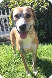 Labrador Retriever/Catahoula Leopard Dog Mix Dog for adoption in Boca Raton, Florida - Betsy