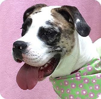 Boxer/Catahoula Leopard Dog Mix Dog for adoption in Evansville, Indiana - Juniper