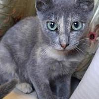 American Shorthair/Domestic Shorthair Mix Cat for adoption in Santa Fe, Texas - Mei Ling