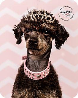 Toy Poodle Dog for adoption in Cincinnati, Ohio - Velvet