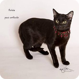 Siamese Cat for adoption in Corona, California - ACRISTA