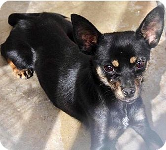 Chihuahua/Miniature Pinscher Mix Dog for adoption in Wytheville, Virginia - Tex